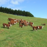 cows-calves2