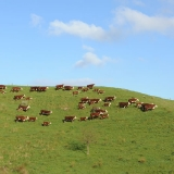 cows-calves4